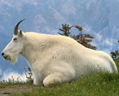 Mountain Goat - Photo by Dave Grickson