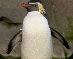 Northern Rockhopper - Photo by Arjan Haverkamp (Wikimedia)