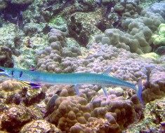 Needlefish being cleaned by Cleaner Wrasse.  Photo by Mila Zinkova (Wikicommons)