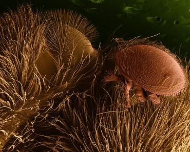 Electron Microscope Photo of a Bee Mite (Wikicommons)