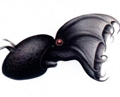 Drawing of a Vampire Squid by Carl Chun, 1911