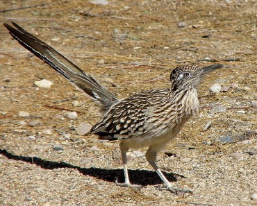 Greater Roadrunner - Photo by dmallen321 (Wikimedia)