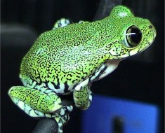 Big-Eyed Tree Frog - Photo by Dawson (Wikimedia)