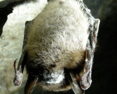 Little Brown Bat with WNS - Photo from Wikimedia