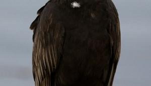 420px-Urubu_a_tete_rouge_-_Turkey_Vulture