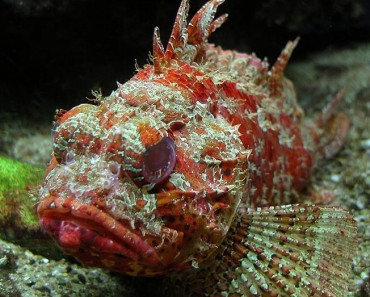 Scorpion fish facts archives animal facts for kids for Fish facts for kids