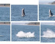 Gray Whale Breaching (Wikimedia)
