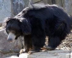 Sloth Bear Photo from Wikimedia