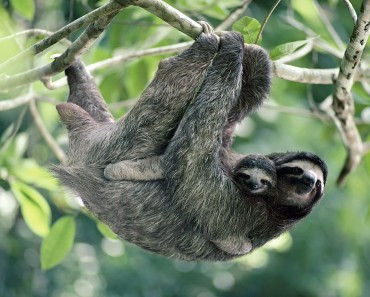 Three-Toed Sloth Facts