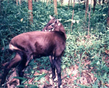 Saola Facts For Kids