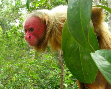 Uakari Photo from Wikimedia