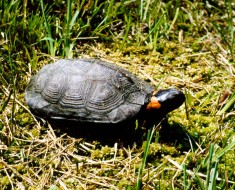 Bog Turtle - Photo from Wikimedia