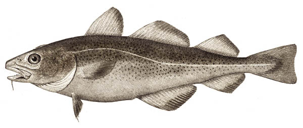 atlantic cod facts