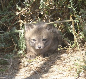 Island Fox - Animal Facts - Wild Facts