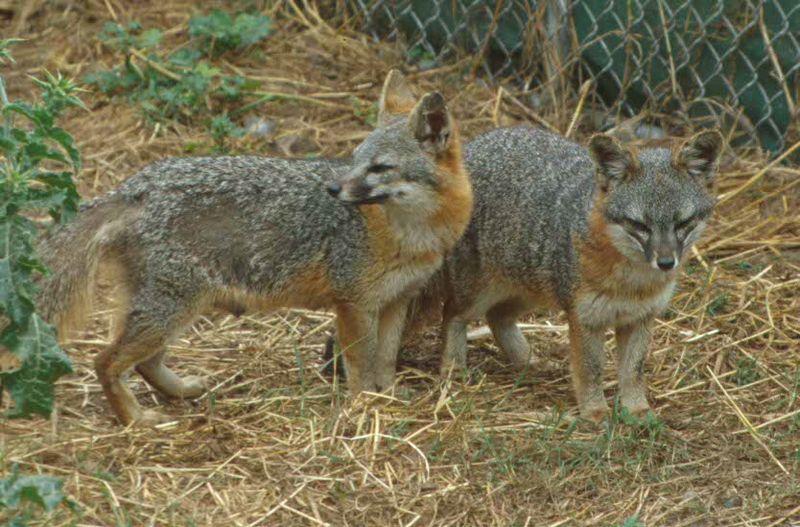 Island Fox - Animal Facts