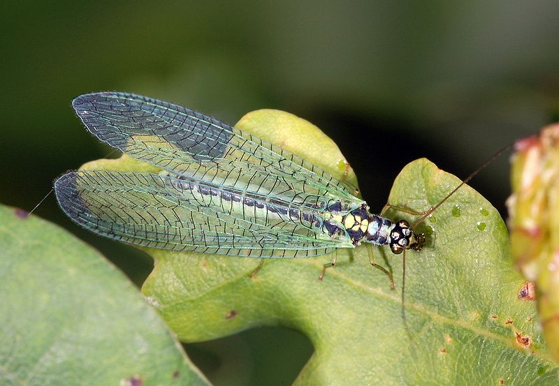 Green Lacewing Facts
