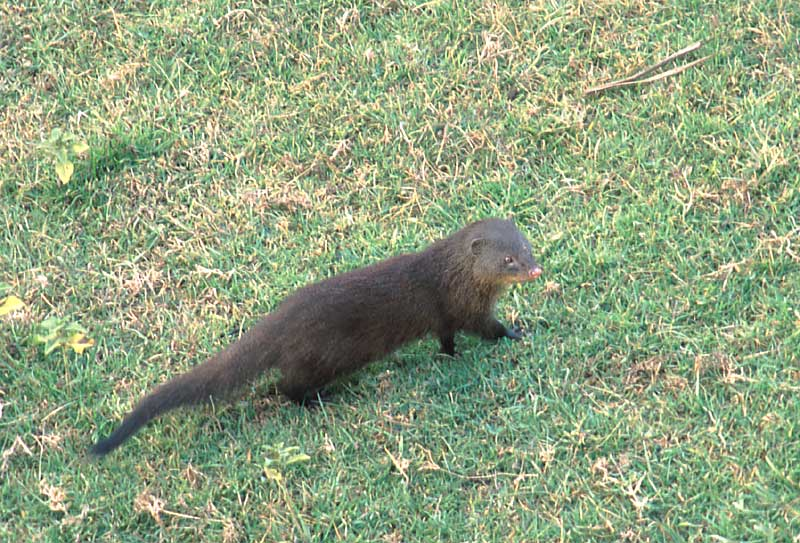 Marsh Mongoose