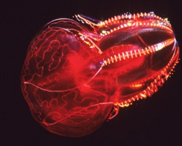 Bloodybelly Comb Jelly