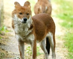 Dhole | Asiatic Wild Dog