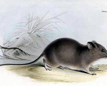 Galapagos Rice Rat