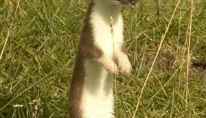 Ermine | Stoat Facts