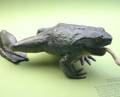 Goliath Frog - Worlds Largest Frog
