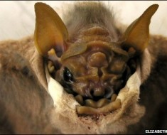Wrinkle Faced Bat