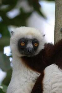 Wooly Lemur
