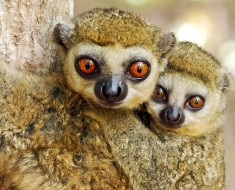 Wooly Lemur Facts