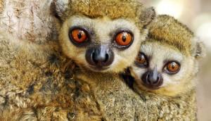 Wooly Lemur Facts