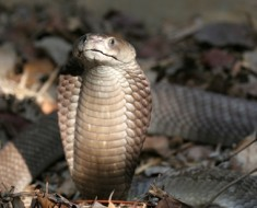 Giant Spitting Cobra