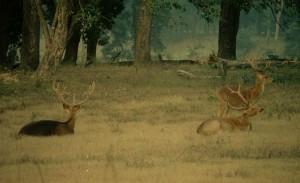 Swamp Deer | Barasingha