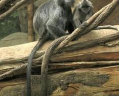 Silvery Lutung Monkey