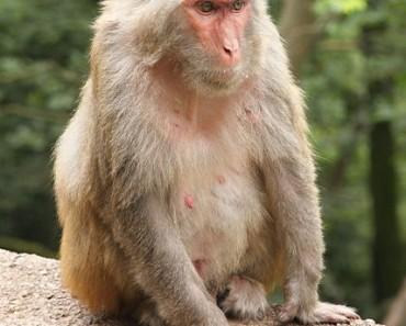 Rhesus Monkey | Rhesus Macaque
