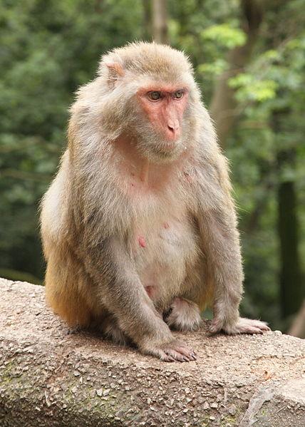 Rhesus Monkey   Rhesus Macaque