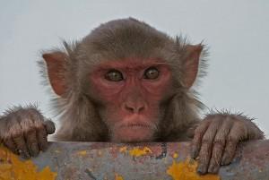 Rhesus Macaque   Rhesus Monkey