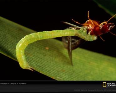 Predatory Hawaiian Caterpillar