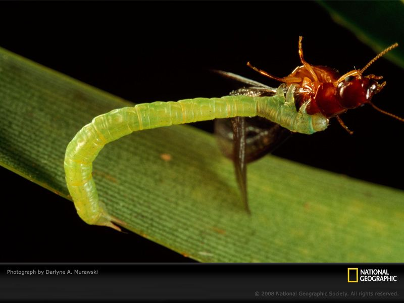 http://www.wild-facts.com/wp-content/uploads/2012/01/Green-grappler-caterpillar-termite.jpg