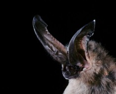 Ozark Big-Eared Bat