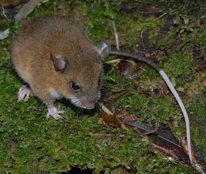 Long Tailed Montane Mouse