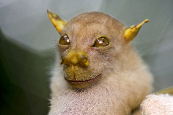 Tube Nosed Fruit Bat