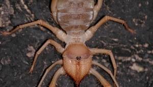 Camel Spider | Sun Spider | Wind Scorpion