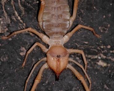 Camel Spider   Sun Spider   Wind Scorpion