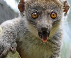 Mongoose Lemur | Lemurs of Madagascar