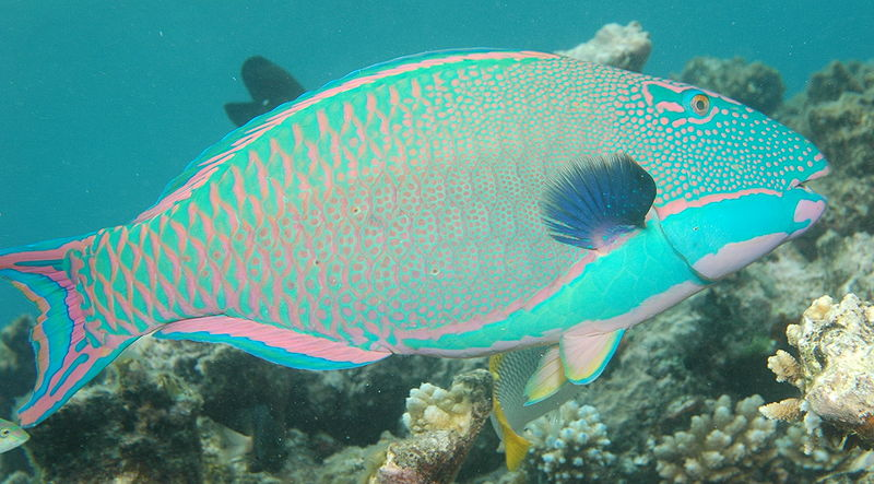 Parrotfish Facts
