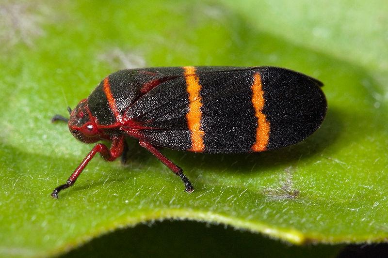 Froghopper | Spittlebug | Spit Bug