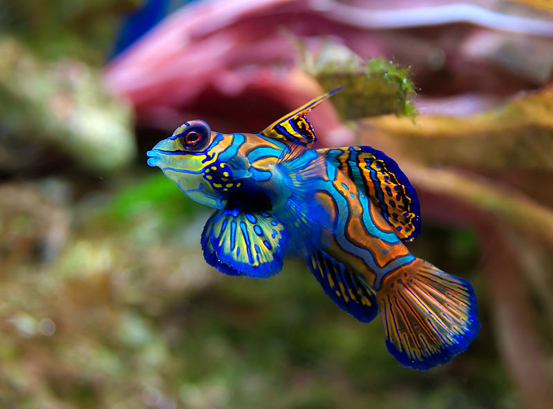 Mandarin fish facts for Freshwater fish facts