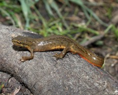 Smooth Newt | Common Newt
