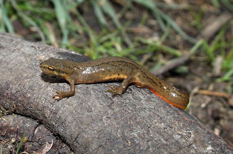 Newt : Smooth Newt Common Newt