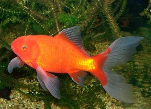 Female Comet Goldfish